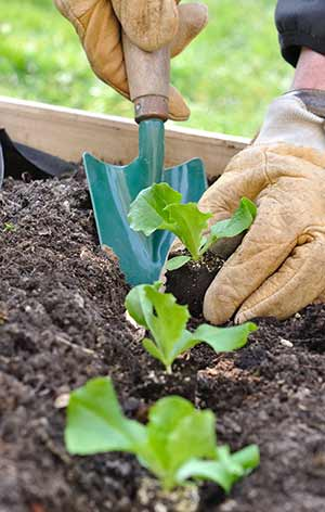 gloved hands with a small shovel putting soil around a small, green plant in a garden